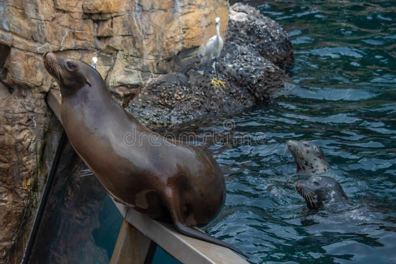 De Zeeleeuw die van Nice op een persoon wachten om hem vissen in Seaworld 6 te werpen stock afbeeldingen