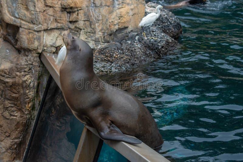 De Zeeleeuw die van Nice op een persoon wachten om hem vissen in Seaworld 7 te werpen royalty-vrije stock foto's