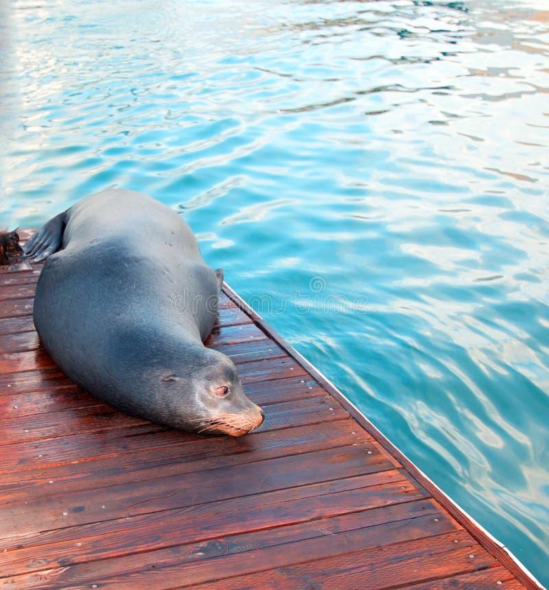 De Zeeleeuw van Californië op dok in Cabo San Lucas Baja Mexico stock foto