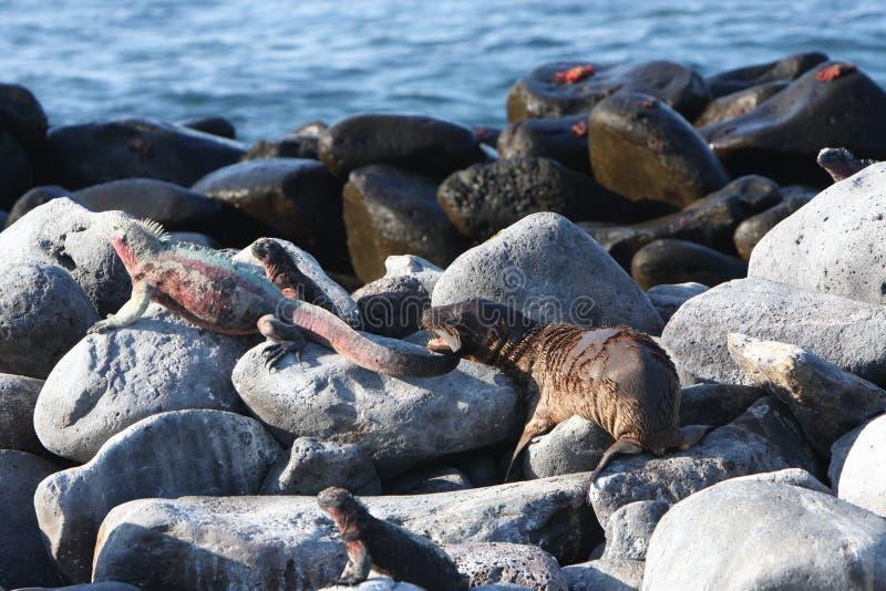 De zeeleeuw van de baby bijt mariene leguaan op de Galapagos stock fotografie