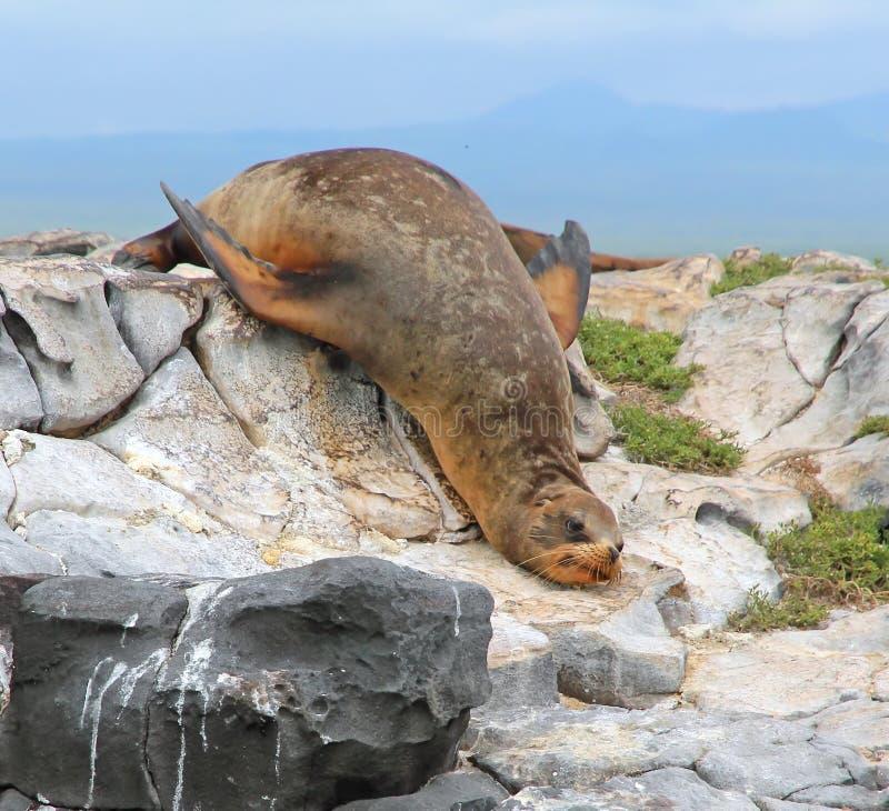 De Zeeleeuw van de Galapagos royalty-vrije stock fotografie