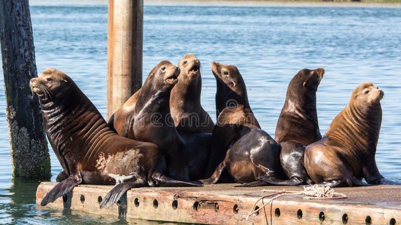 De Zeeleeuwen die van Californië op drijvend dok rusten stock afbeelding