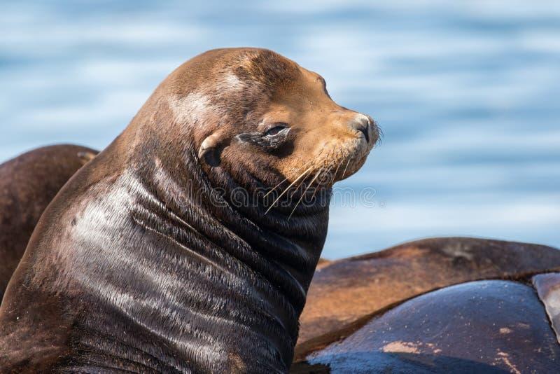 De Zeeleeuwen die van Californië op drijvend dok rusten stock fotografie