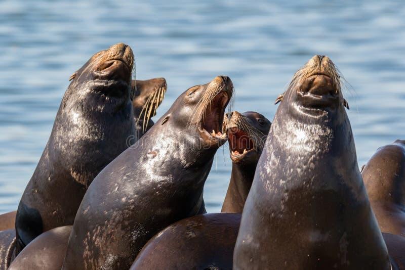 De Zeeleeuwen die van Californië op drijvend dok rusten royalty-vrije stock foto's