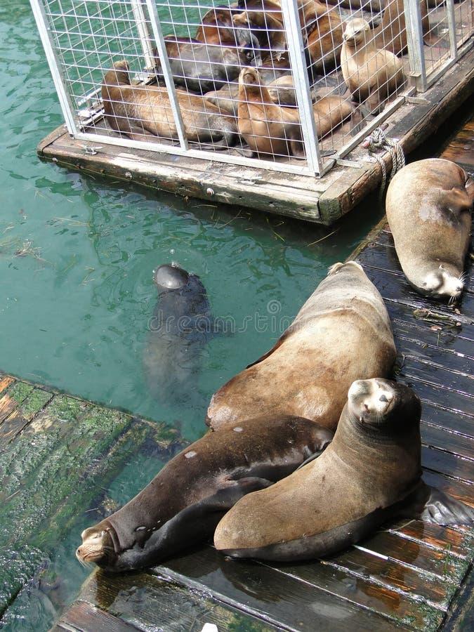 De zeeleeuwen van Californië royalty-vrije stock fotografie
