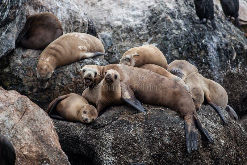 De zeeleeuwen van Californië royalty-vrije stock foto
