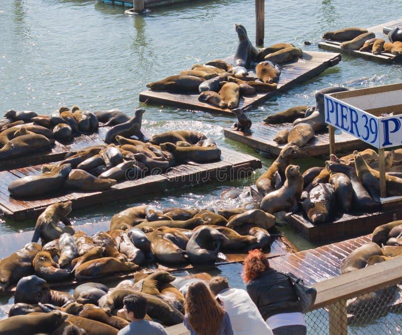 De zeeleeuwen van Californië bij Pijler 39, San Francisco, de V.S. stock foto