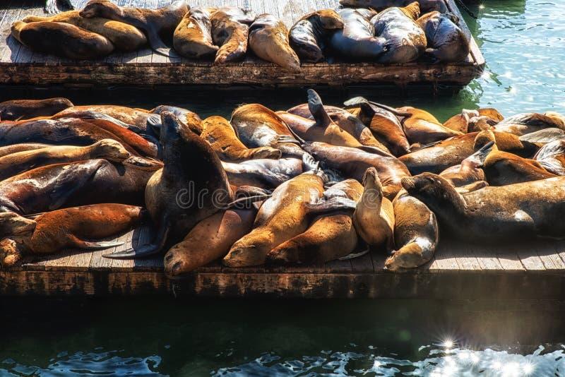 De Zeeleeuwen van Californië (Zalophus-californianus) stock foto