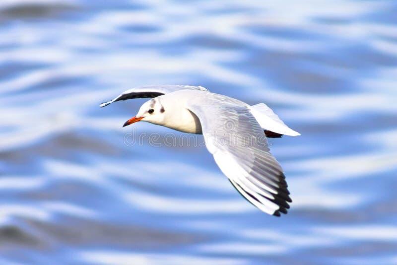 De zeemeeuw, aalscholver vliegt en zoekt prooi uit stock foto