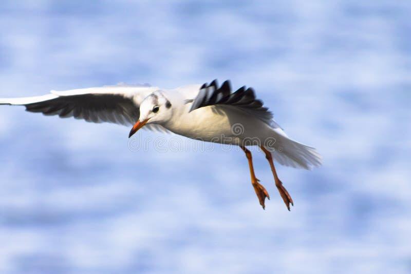 De zeemeeuw, aalscholver vliegt en zoekt prooi uit royalty-vrije stock afbeelding