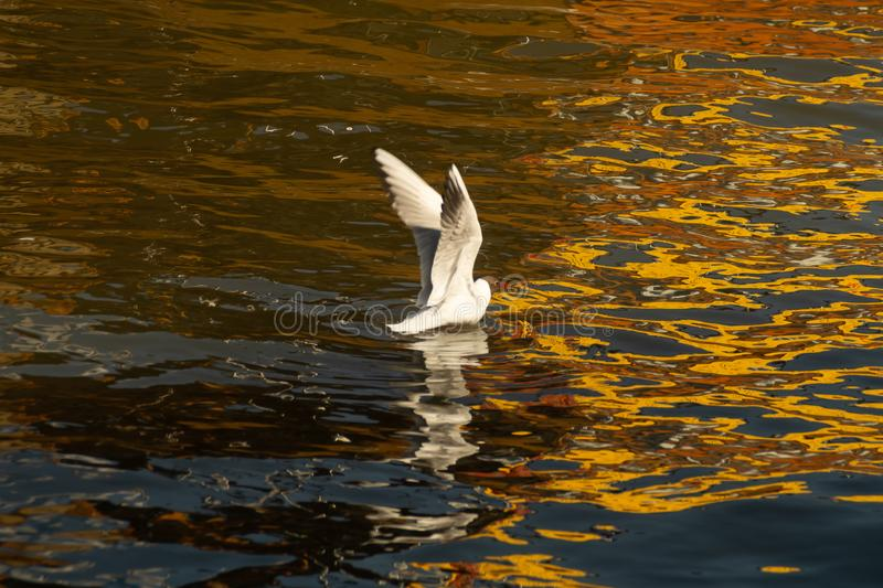 De Zeemeeuw die een vis vangen zeevogel met brede uitgespreide vleugels Meeuwland in het water mooie vogel op het water met goude royalty-vrije stock foto