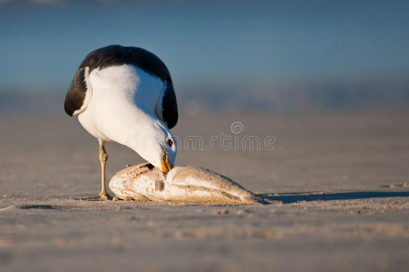 De Zeemeeuw van de kelp stock fotografie