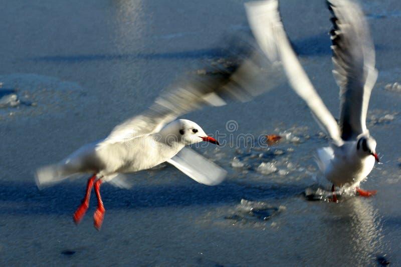 De zeemeeuw van de vogel stock fotografie