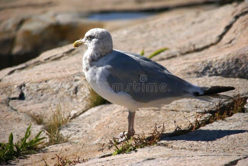 De zeemeeuw van haringen op granietrots stock fotografie