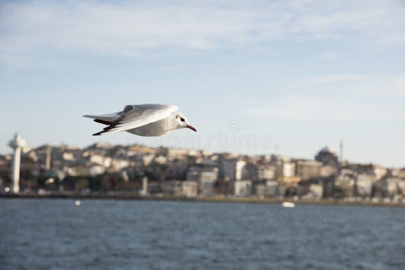 De zeemeeuw van Istanboel stock afbeeldingen