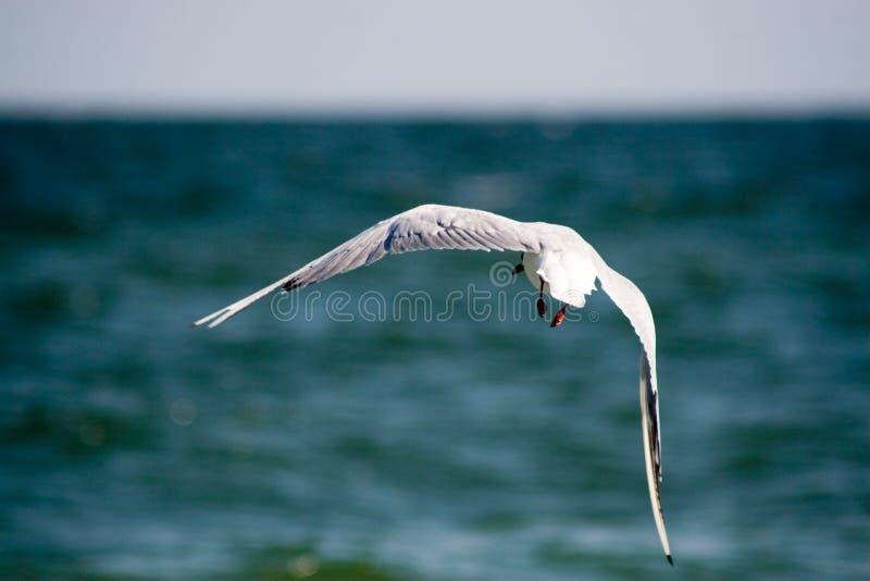 De zeemeeuw vliegt over het overzees royalty-vrije stock afbeeldingen