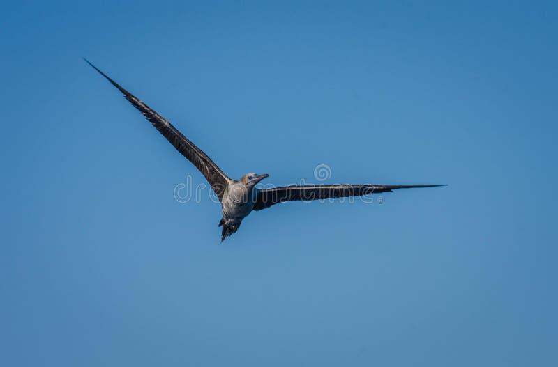 De zeemeeuw vliegt triomfantelijk royalty-vrije stock foto