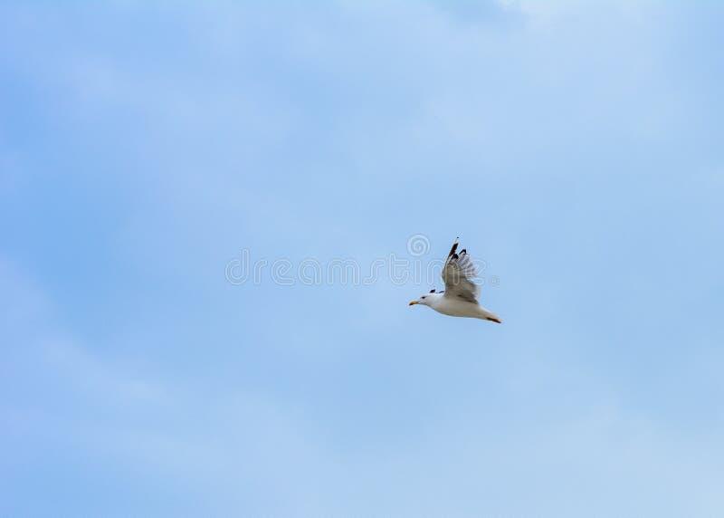 De zeemeeuw vliegt van de kust van de Zwarte Zee stock foto's
