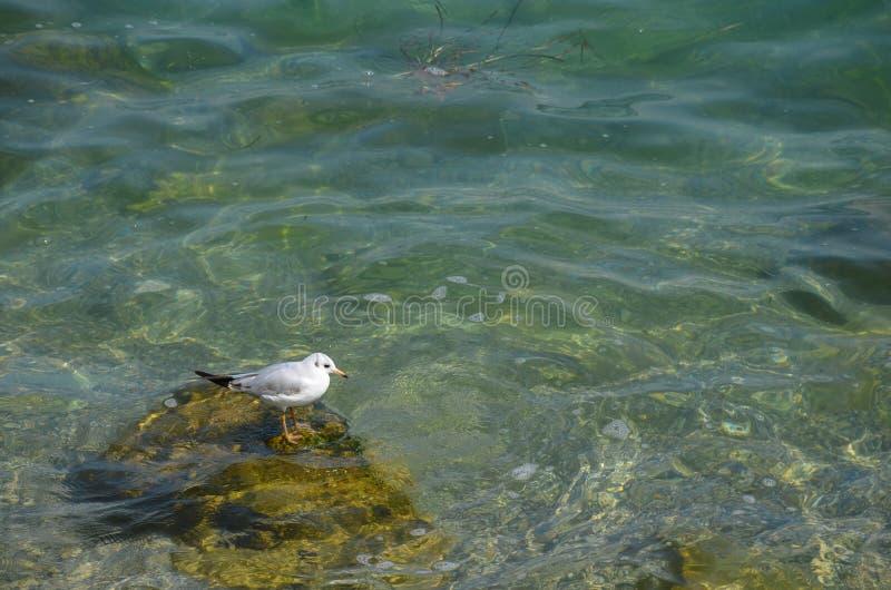 De zeemeeuw zit op een steen stock fotografie
