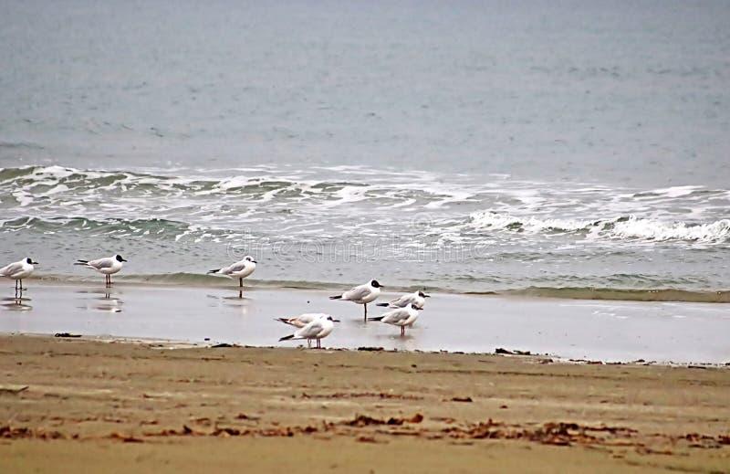 De zeemeeuwen bevinden zich op de rand van water, Middellandse Zee, Larnaca, Cyprus stock afbeeldingen