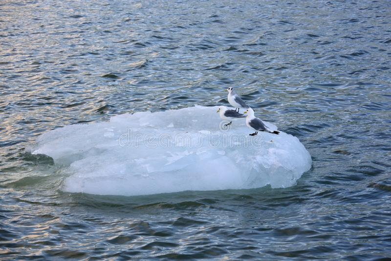 De zeemeeuwen rusten op smeltende ijsberg royalty-vrije stock foto's