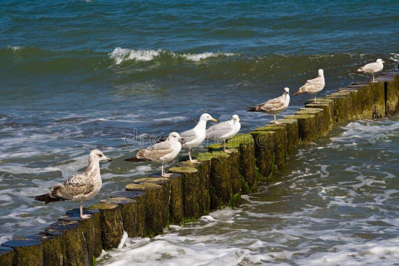De zeemeeuwen van haringen royalty-vrije stock foto