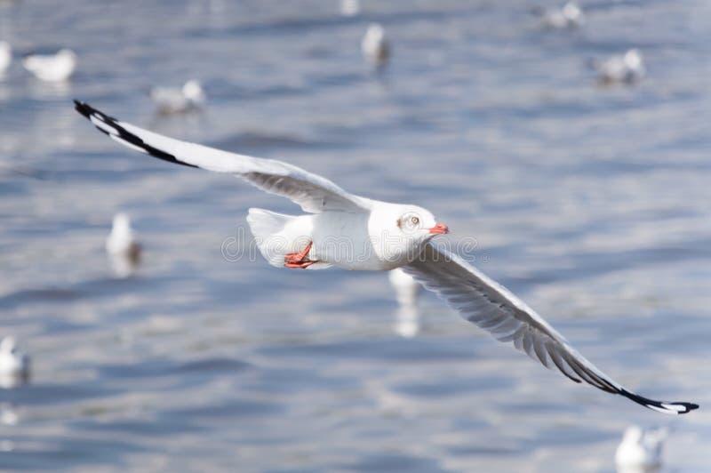 De zeemeeuwen vliegen royalty-vrije stock fotografie