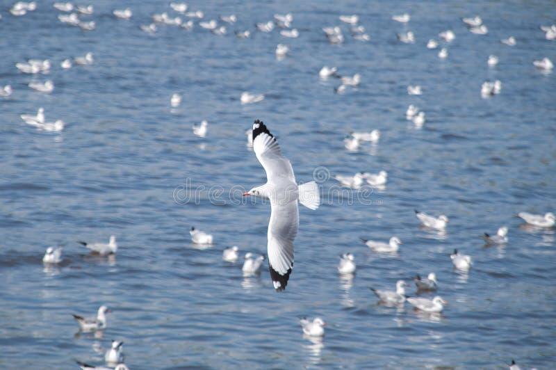 De zeemeeuwen vliegen royalty-vrije stock afbeelding