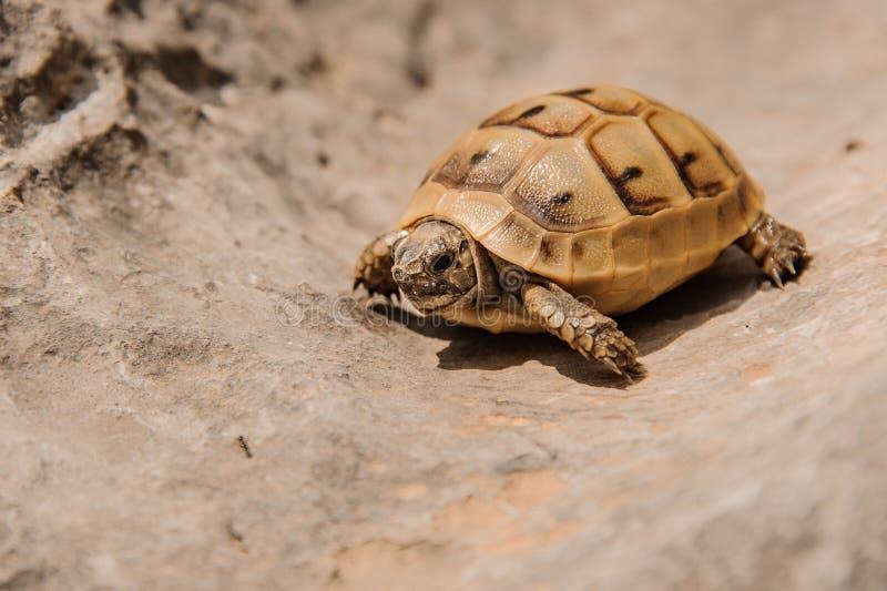 De zeer kleine schildpad kruipt op het zand royalty-vrije stock fotografie