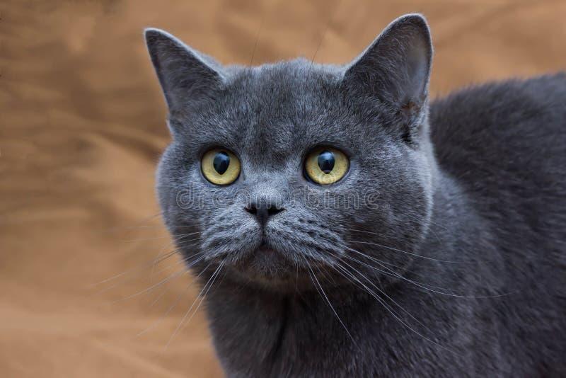 De zeer mooie Britse kat ligt op de vloer en thuis het rusten royalty-vrije stock afbeeldingen