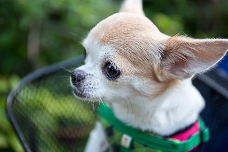 De zeer zachte hond van nadrukchihuahua stock foto
