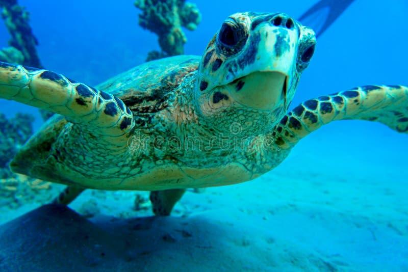 De zeeschildpad van de Huckneus stock afbeelding