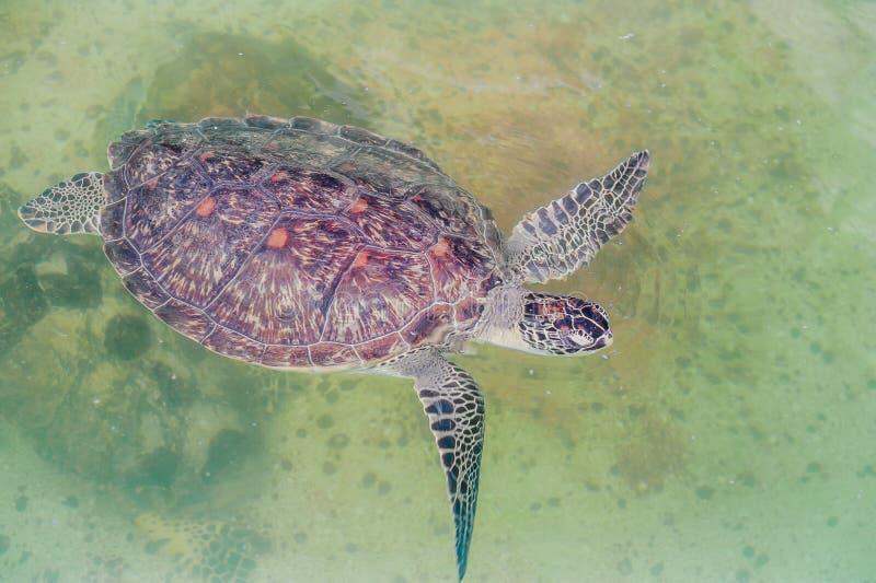 De zeeschildpad zwemt in het aquarium Mening van hierboven royalty-vrije stock foto