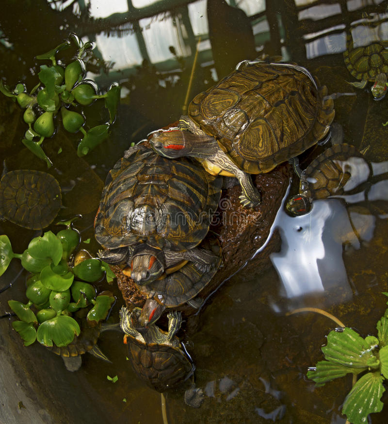 De zeeschildpadden die in de waterbijlage kruipen, kruipen rond elkaar royalty-vrije stock foto's