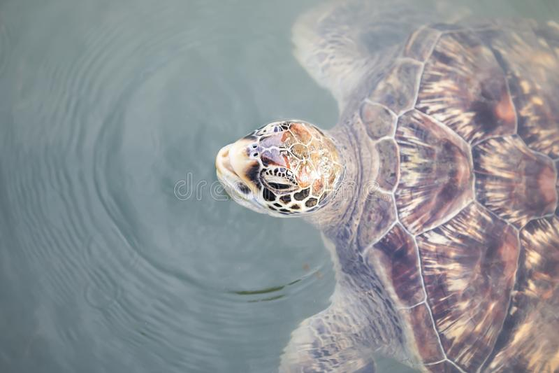 De zeeschildpaddenvlotter ademt tot stock fotografie