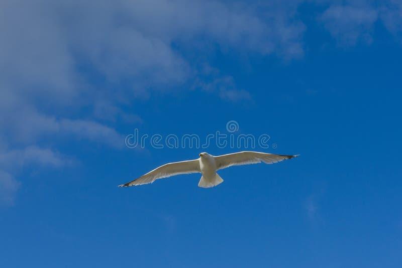 De zeevogel die sennen over inhamgolfbreker vliegen stock fotografie