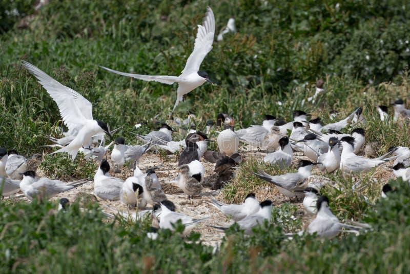 De zeevogels die van de sandwichstern met jongelui nestelen royalty-vrije stock fotografie
