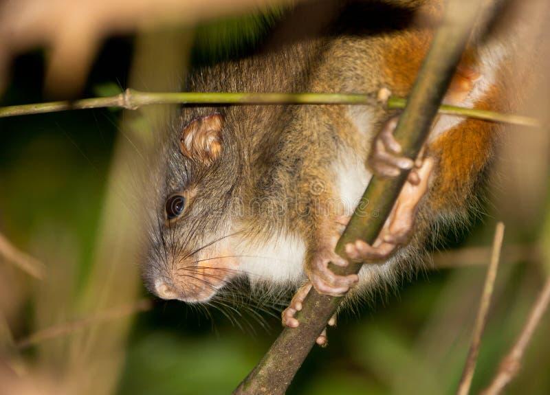 De zeldzame bamboe-Rat stock afbeelding