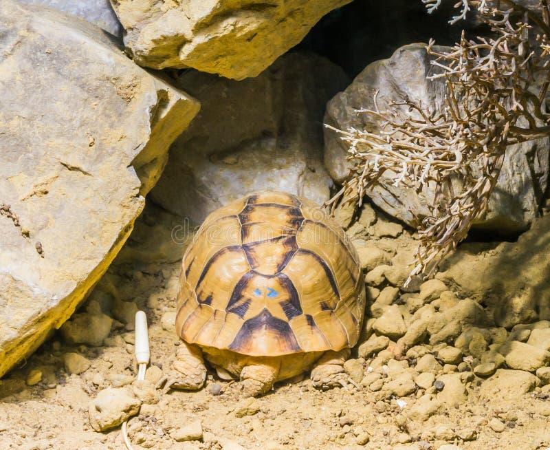 De zeldzame bedreigde Egyptische slaap van de schildpadschildpad in het zand onder sommige rotsen stock afbeeldingen
