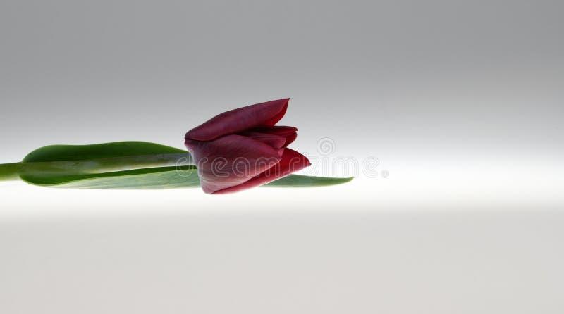 De zeldzame bloem van de bardatulp met donkere bloemblaadjes royalty-vrije stock foto