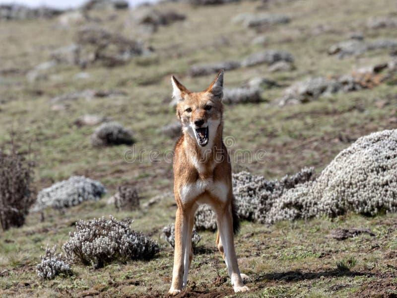 De zeldzame Ethiopische wolf, Canis-simensis, bij het luide huilen, Sanetti-plateau, verpakt Nationaal Park, Ethiopië in balen stock fotografie