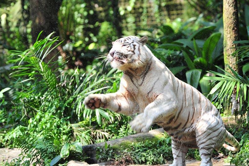 De zeldzame witte tijger die van Bengalen zijn maaltijd vangt stock foto's