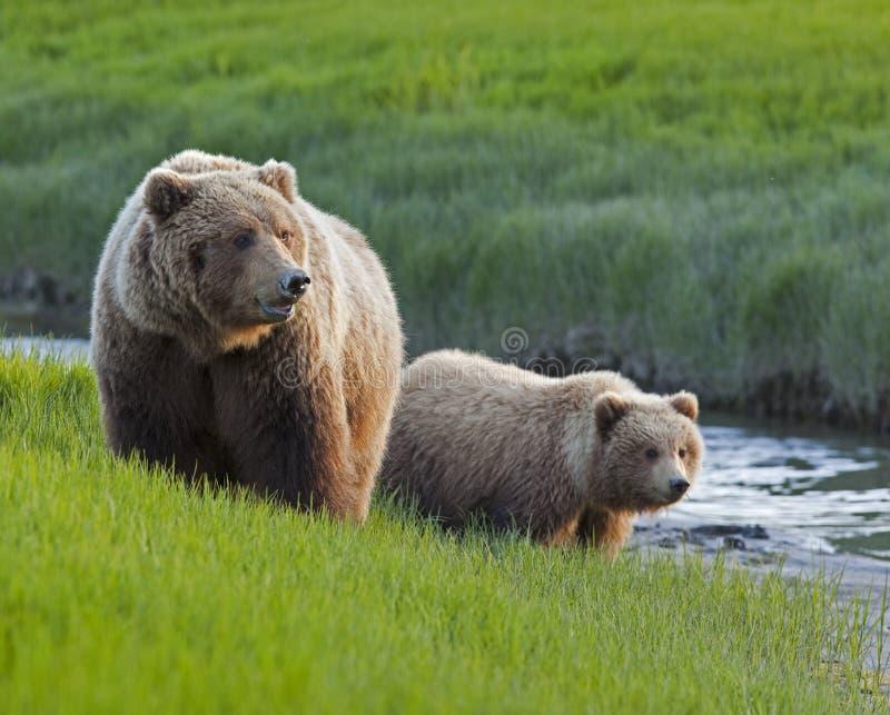 De zeug en de welp van de grizzly langs stroom stock fotografie