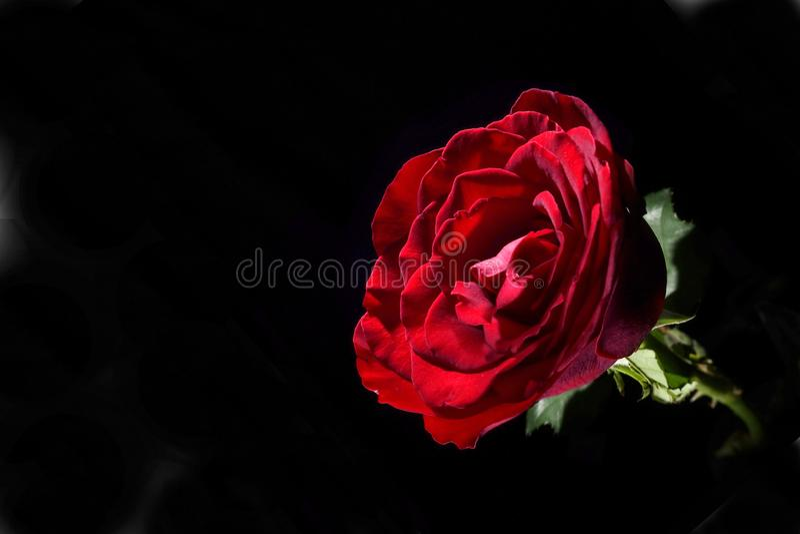 De zichtbare schoonheid van rode rozen is zeer charmerend royalty-vrije stock foto's