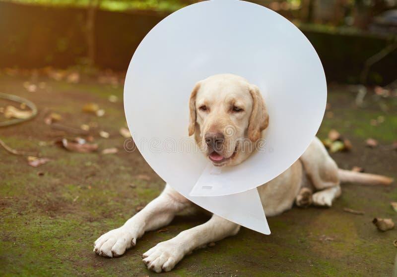 De zieke hond van Labrador stock afbeelding