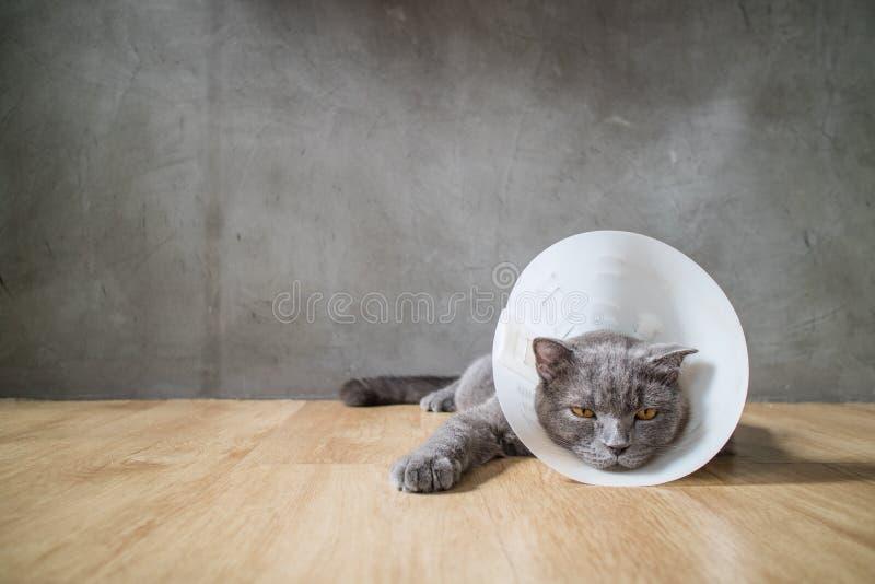 De zieke kat met de kraag van de trechterkegel verhindert hem kras zijn oor stock foto's