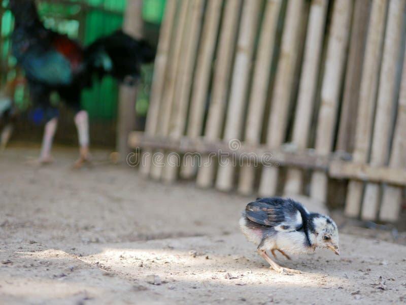 De zieken werden weinig babykuiken verlaten achter/alleen in een kippenkippenren stock afbeelding