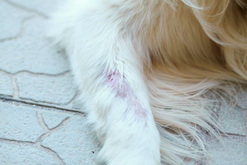 De ziekte van de hondhuid royalty-vrije stock fotografie