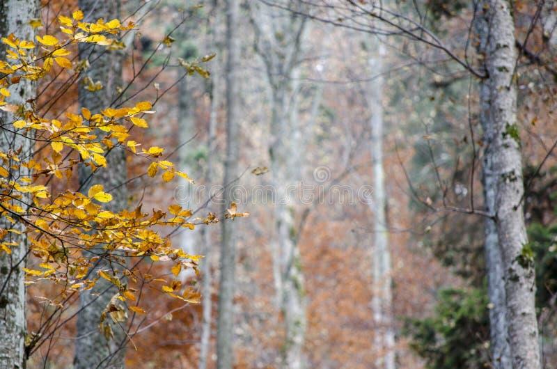 De zilveren bomen in de herfst, met blured achtergrond in midden stock afbeelding