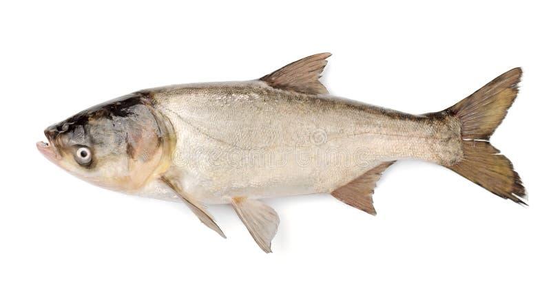 De Zilveren Karper van vissen, Hypophthalmichthys Molitrix royalty-vrije stock foto's
